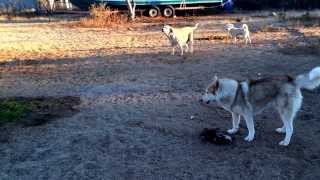 Amazing Animal Interaction. The Wolf, The Husky, Poodle, Lab And The Hare! Guess Who Won The Prey!