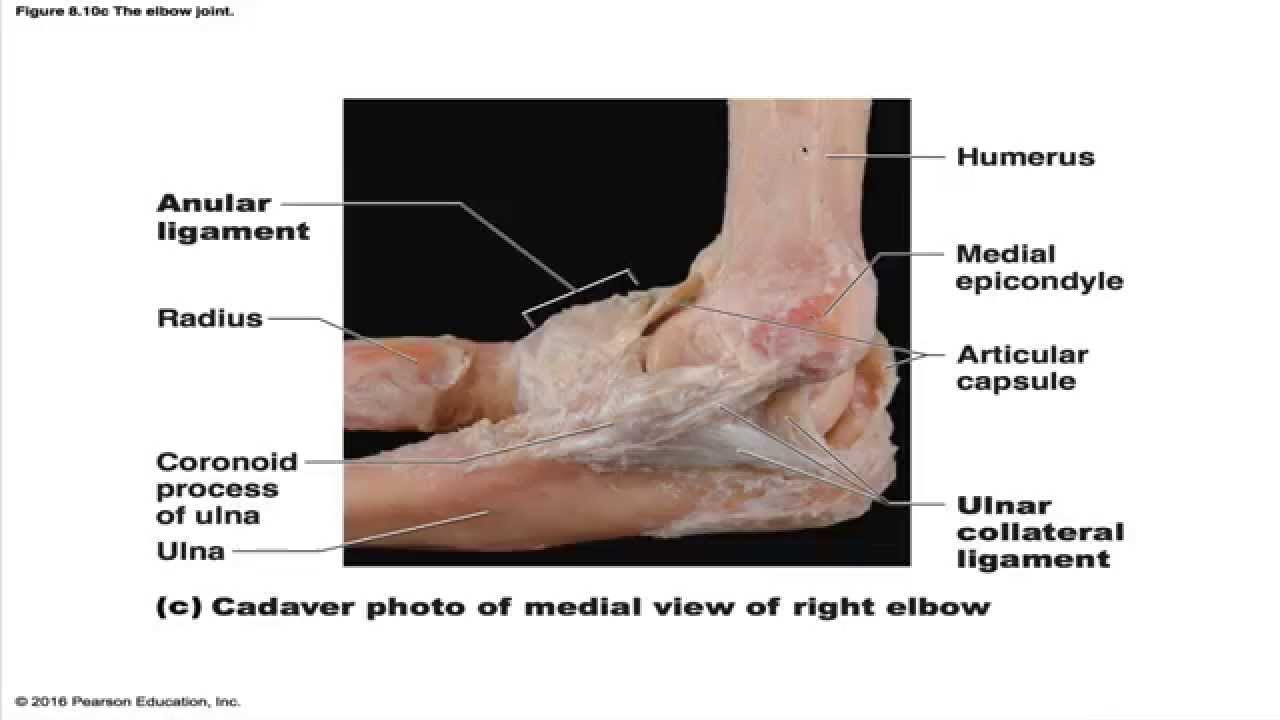 The Elbow Joint - YouTube