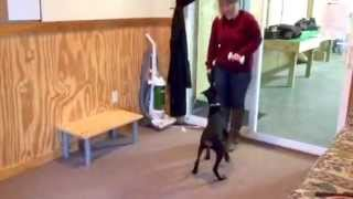 "Doberman Puppy ""falon"" 4 1/2 Months Obedience Protection Trained Dog For Sale"
