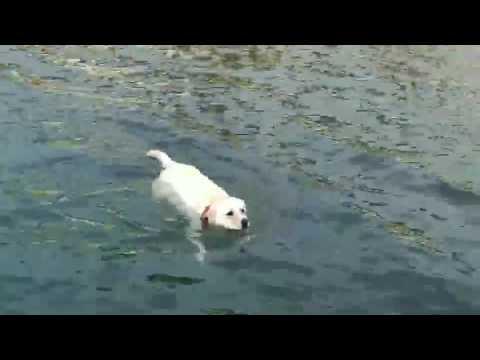 かわいい!優雅に泳ぐぽっちゃり犬〜Swimming dog