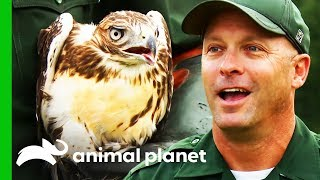 Rehabilitated Birds Of Prey Released Into The Wild | North Woods Law