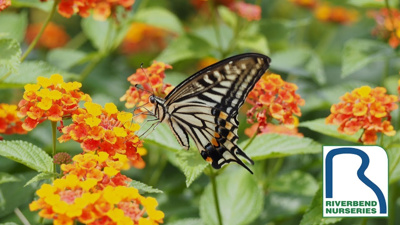 What to Plant to Attract Butterflies to Your Garden