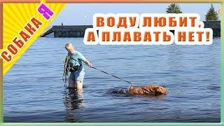 Собака в воде. Шарпей любит воду , а плавать не хочет