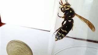 LOOK at the SIZE of this HUGE WASP! Scary, Angry Hornet  Up close and personal, a Bald Faced Hornet