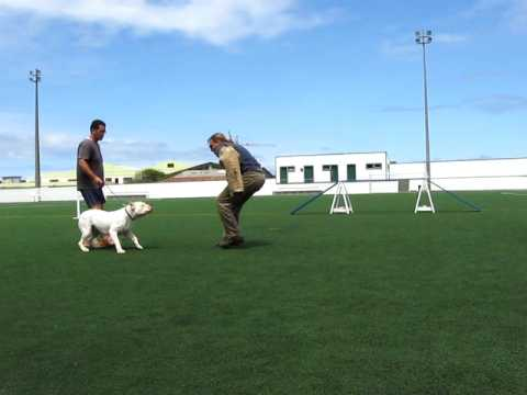 Dogo Argentino Schutzhund