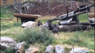 Gorilla throws stick at visitors and fights with his girls