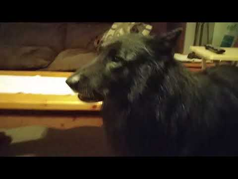 How to get your Dog to Bark, Featuring the Belgian Sheep Dog (Groenendael) Nanook
