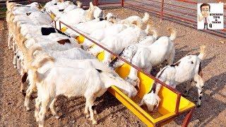 आधुनिक बकरी पालन से साल कि 15 लाख कि कमाई || केवल 11 बकरियों से 3.5 लाख की कमाई !। goat farming