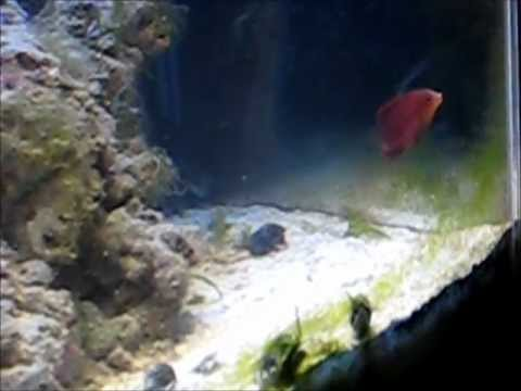 Sixline Wrasse And Odd Behavior With Clownfish