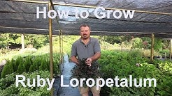 How to grow Ruby Loropetalum (Chinese Fringe Flower) with detailed description