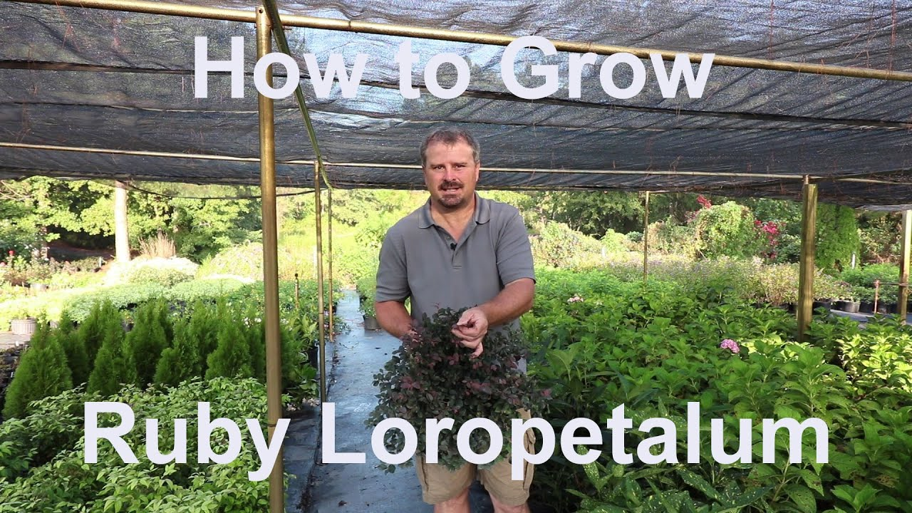 How To Grow Ruby Loropetalum Chinese Fringe Flower With Detailed