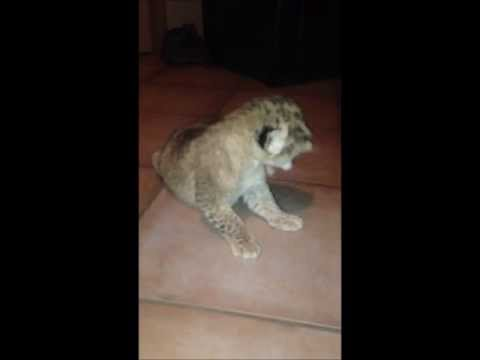 Baby Lion Crying