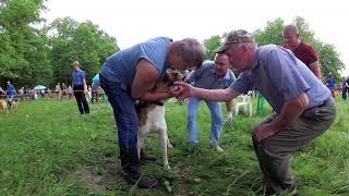 Выставка охотничьих собак в Чебоксарах.