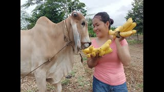 How To Make Banana Ripe a Cow Feed Ingredients In My Village