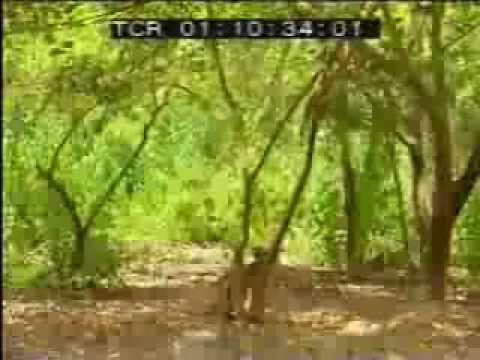 Video một con khỉ đánh hai con cọp bác tin không    Clip một con khỉ đánh hai con cọp bác tin không    Video Zing