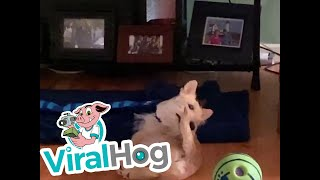 Dog Catches Tail or Tail Catches Dog || ViralHog