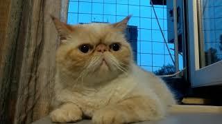 Грустный Кот Экзот.