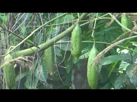 White silk cotton tree - Kopok tree - Bombax pentandrum - Ceiba pentandra