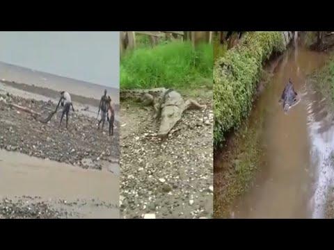 crocodiles-in-jamaica,-crocodile-bite-n-injured-jamaican-man