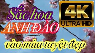 Hoa Anh Đào vào mùa (Thái Nam ►4K UHD)