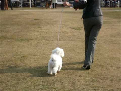 Bichon Frise Japan!! Dog show baby class Shin in Hyogo Prefecture Kakogawa City.