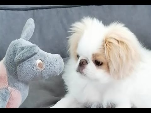 Japanese Chin Puppy playing ,Little Dog Playing (4 months ), Welpenspiele
