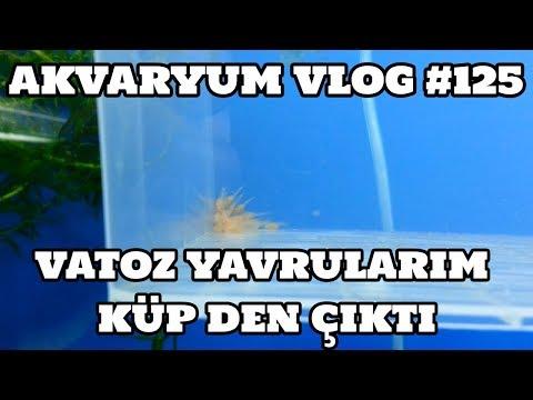 Akvaryum Vlog #125 (Vatoz Yavrularım Küp Den Çıktı)