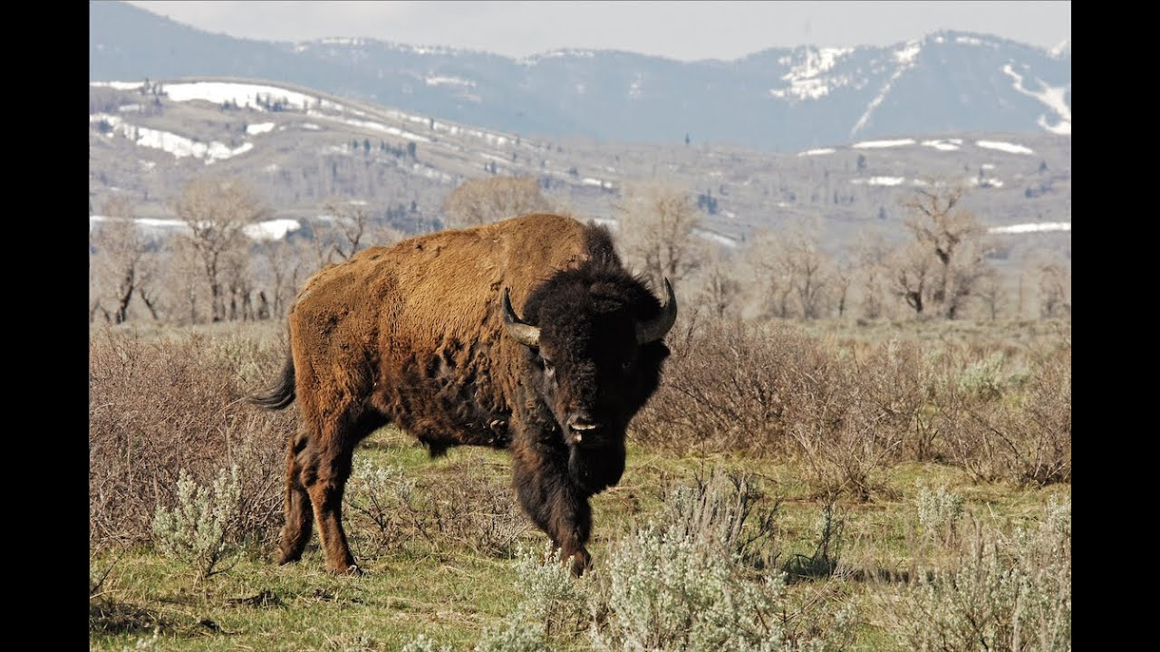 how did bison almost become extinct