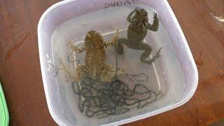 Ловля жаб и лягушек, выращивание головастиков