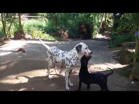 Do you ever seen pure black dalmatian puppy  ESK TV