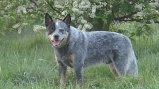 hutch de australian cattle dog