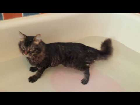 Funny Little Maine Coon Kitten Loves the Bath