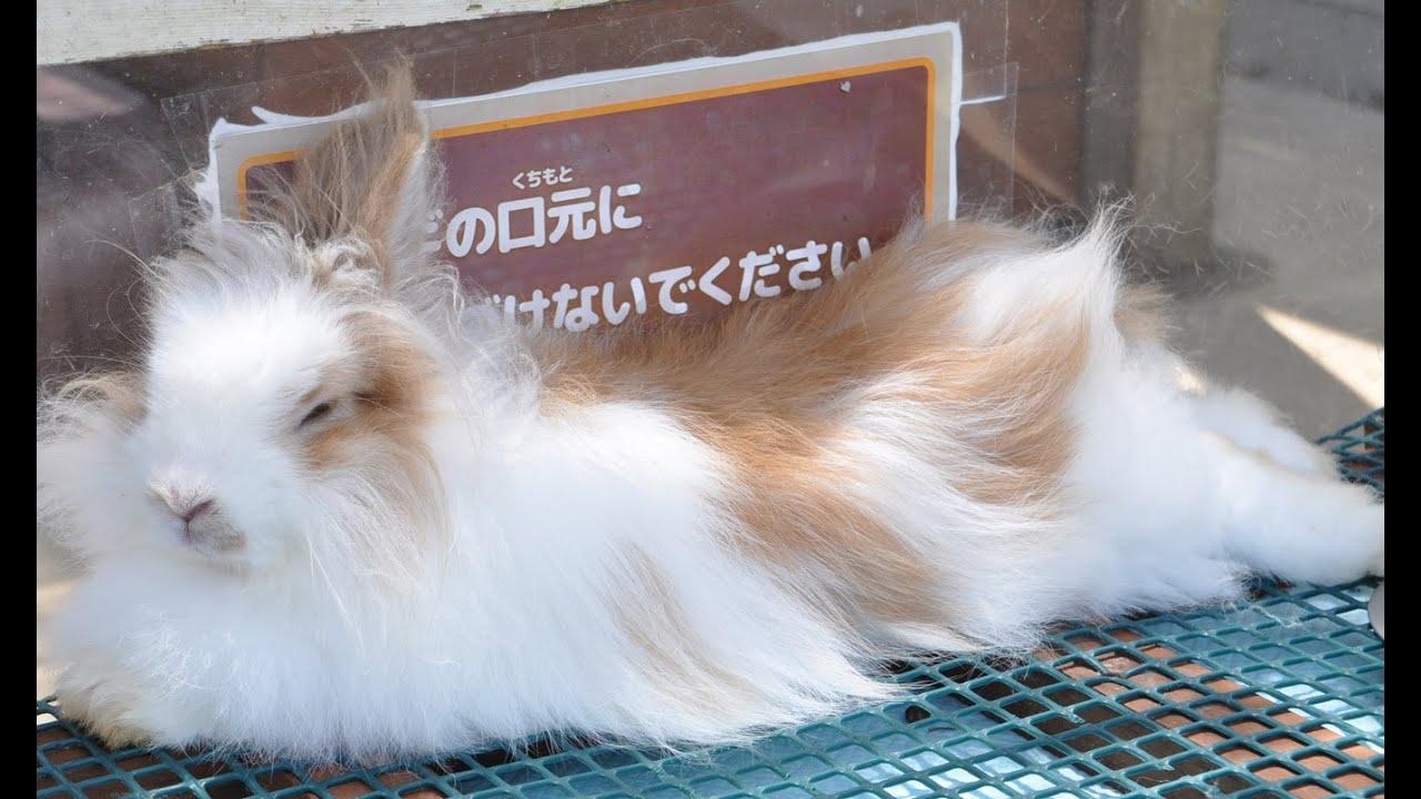 ウサギ アンゴラ