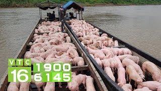 Giá lợn gần biên giới Trung Quốc cao kỷ lục | VTC16