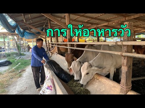วิธีการให้อาหารวัวแต่ละรุ่น