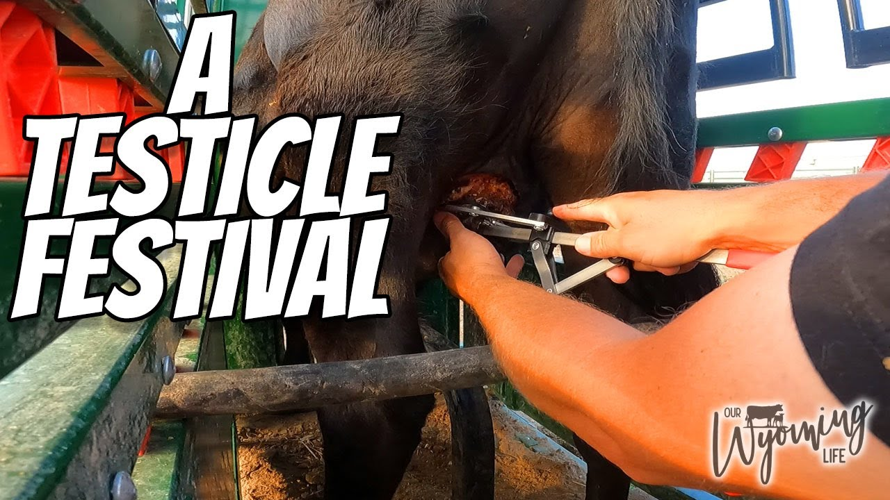 UPDATE!  Castrating the Bull!