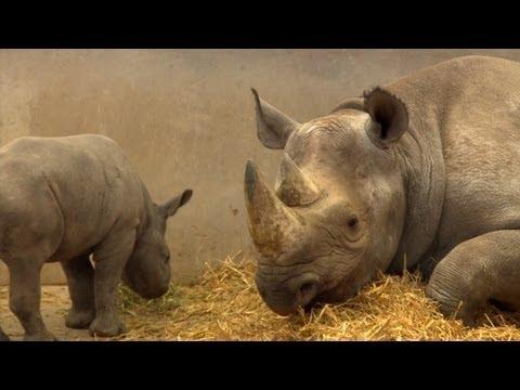 Protegen a los rinocerontes negros vigilando sus excrementos