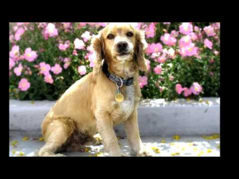 English Cocker Spaniel  Dog  History, Personality, Health, Care