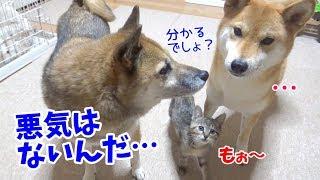ふわふわボールで子猫リムが夢中で遊んでます♪ 柴犬リコは温かい目で見...