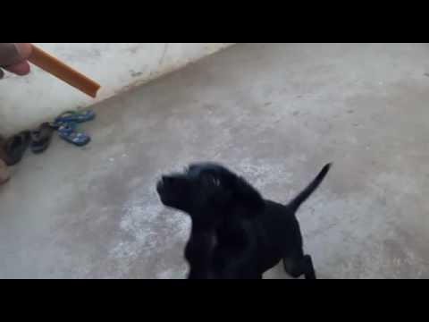 Lebrador black puppy training in hindi