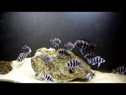 How To Improve The Growth Rate Of The Frontosa Cichlids!