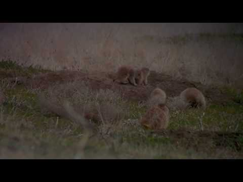 Adorable Prairie Dog Pups