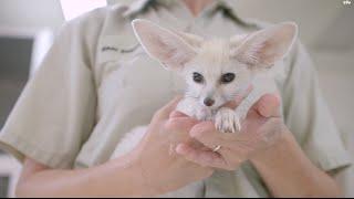 とんでもなくかわいい世界最小のキツネ「フェネック」の赤ちゃん