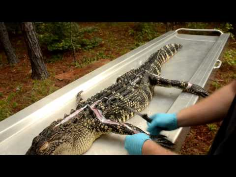 How to skin an alligator
