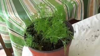How to Grow Dill Video- Shebu Bhaji or Suva or Savaa or Soa Bhaji - Gardening by Bhavna