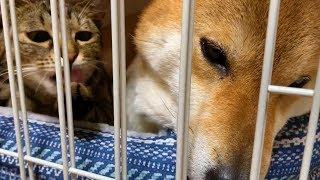 同じケージにいても気にならない柴犬猫の親子愛  Shiba Inu and cats of parent-child love