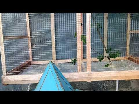 Cara beternak kolibri ninja kandang 1x0.5m