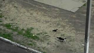 Ворона и кошка
