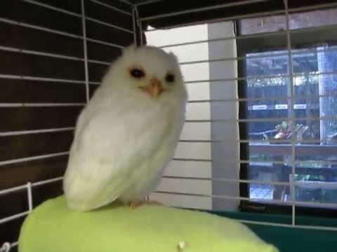 White Owl - Leucistic Baby Screech Owl