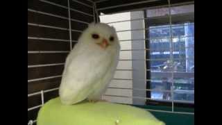 White Owl - Leucistic Baby Screech Owl